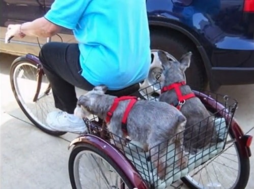 Dogs Schwinn Tricycle